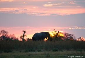 Elephant at sunset, Okavango Delta