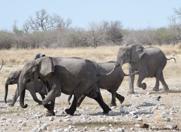 Breeding herd of elephants running
