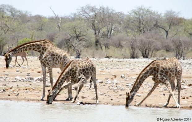 Giraffe drinking in waterhole