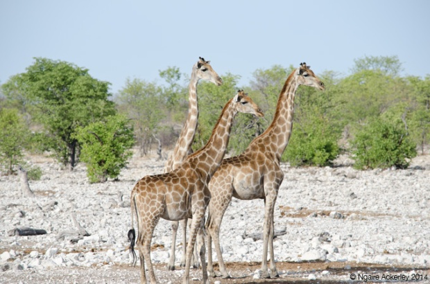 Giraffes watching a lion coming into the waterhole