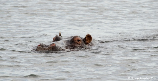 Hippo in water, Chobe National Park
