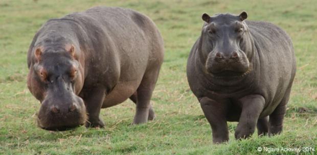 Hippos, Chobe National Park