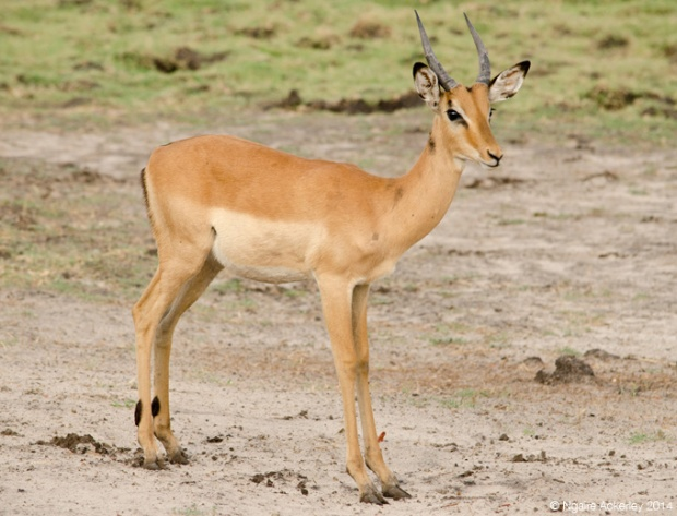 Impala, Chobe National Park