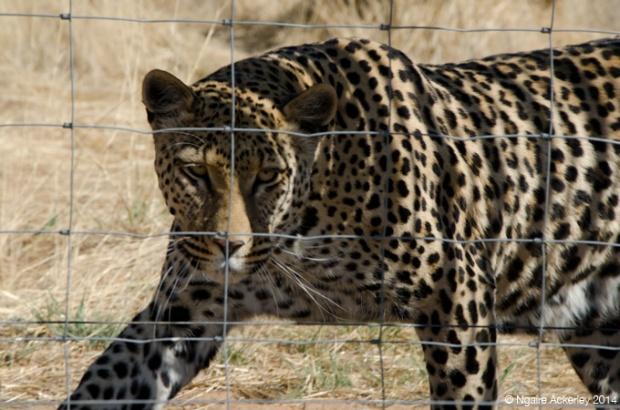 Umbelle, Leopard