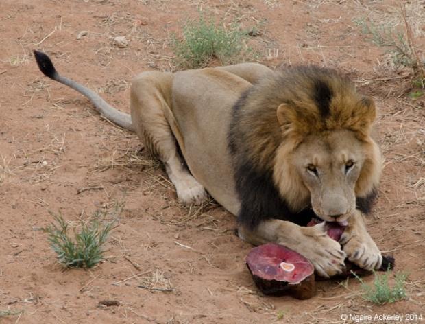 Carnivore Feeding Time