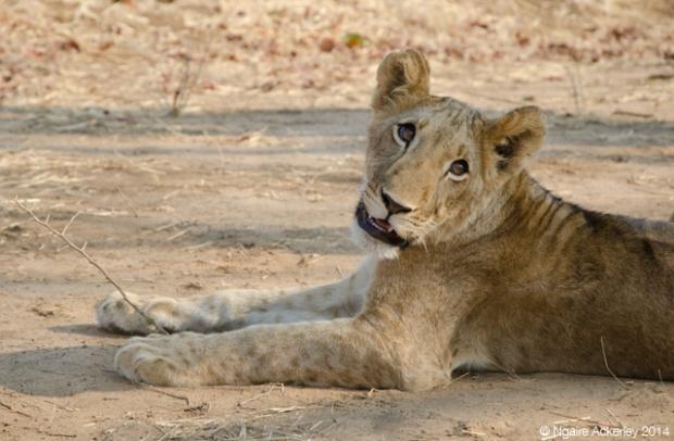 Lion at Lion Encounter