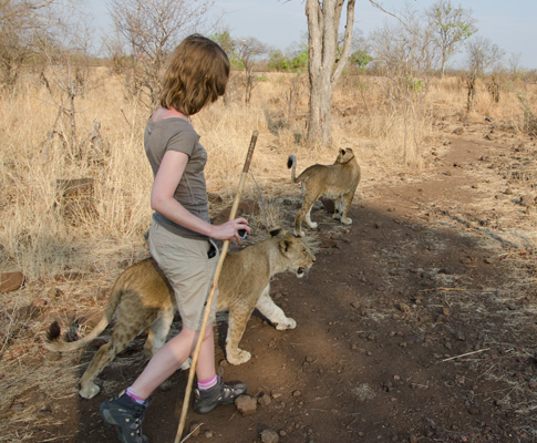 Lions and I walking