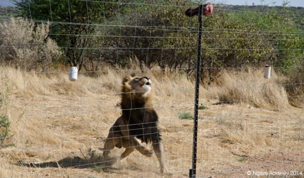 Meatball, Lion from N/a'ankuse