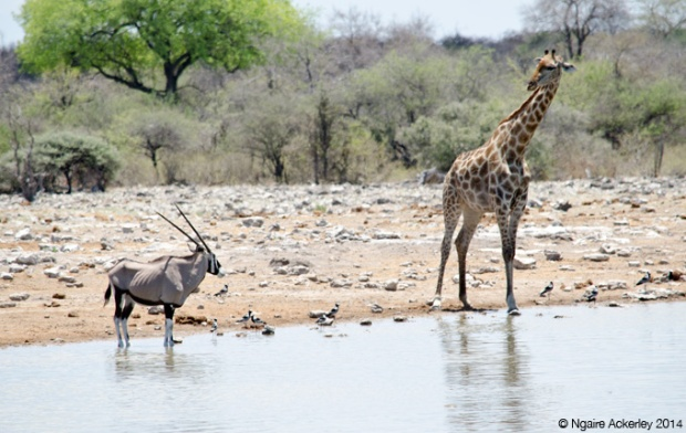 Oryx and giraffe watching each other