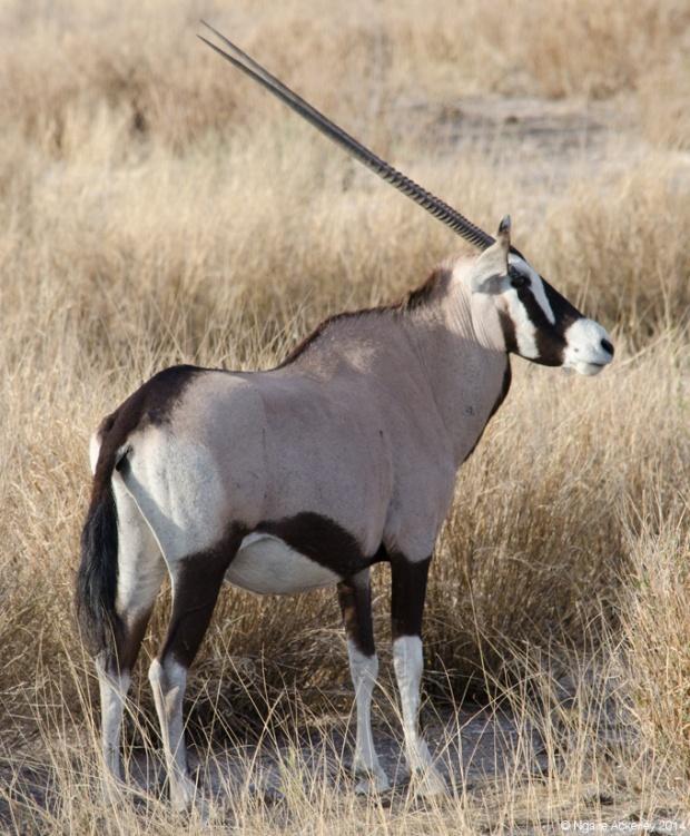 Stunning Oryx