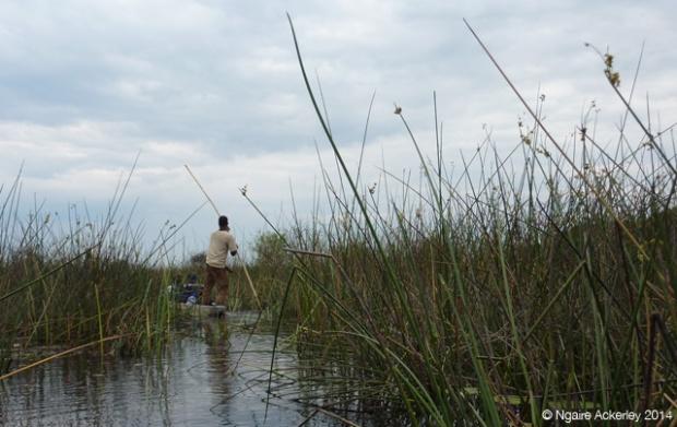 Reeds in the Okavango Delta