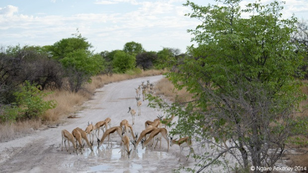 Springbok traffic jam