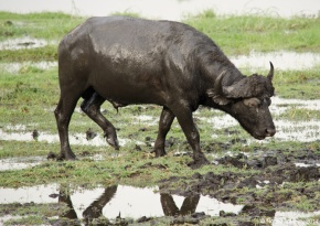 Water Buffalo in Chobe National Park, Botswana