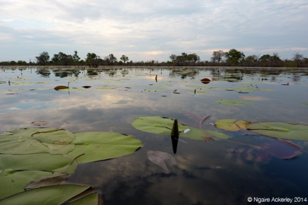 Water Lillies in the Okavango Delta
