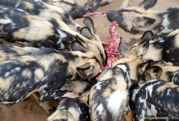 Wild Dogs being fed