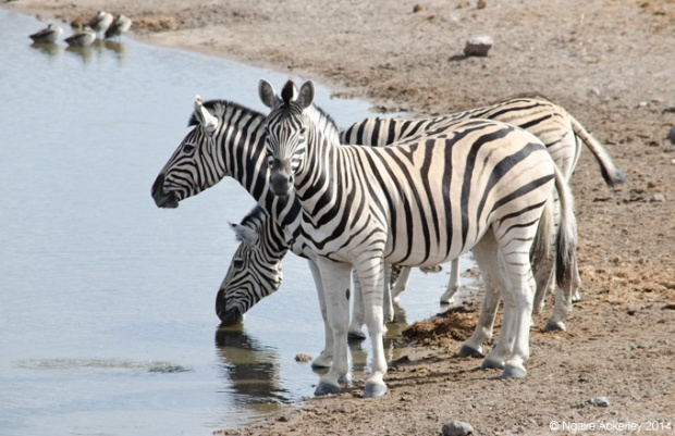 Three heads of zebra
