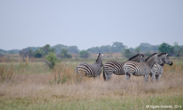 Zebra looking out, Okavango Delta