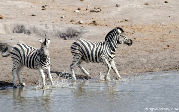 Zebra running into water, Etosha National Park, Namibia