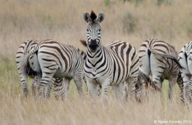 Zebra staring, Okavango Delta
