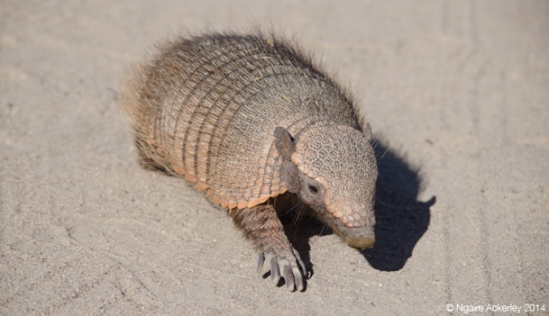 Armadillo walking, Punta Norte, Peninsula Valdes