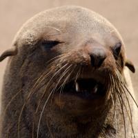 The Cape Fur Seals of Cape Cross
