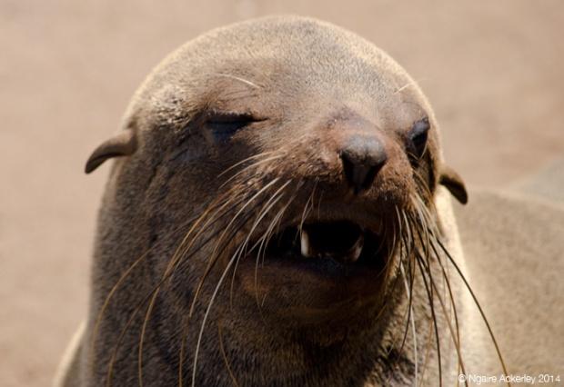 Fur Seal head