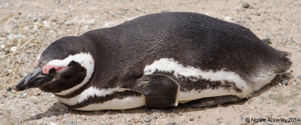 Magellanic Penguin sleeping laying down