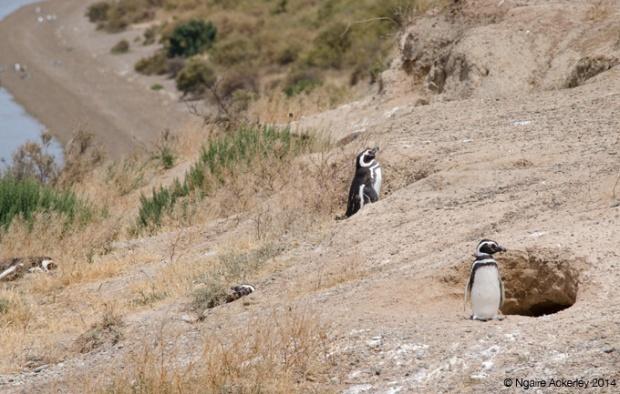 Magellanic Penguin nests, Peninsula Valdes