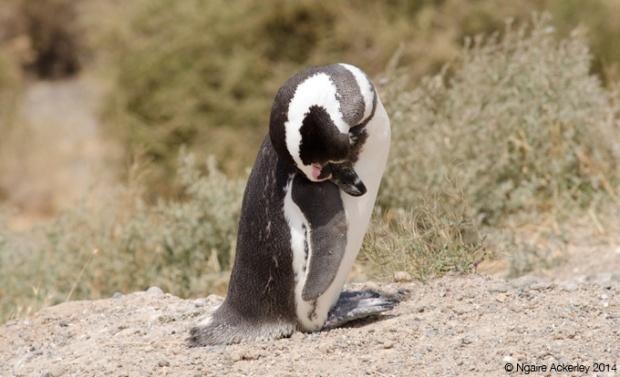 Magellanic Penguin, Peninsula Valdes
