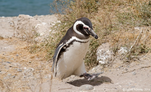 Magellanic Penguin sleeping walking, Peninsula Valdes