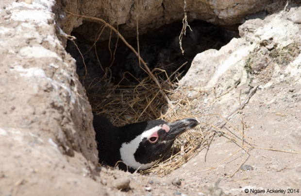 Magellanic Penguin in its nest, Peninsula Valdes