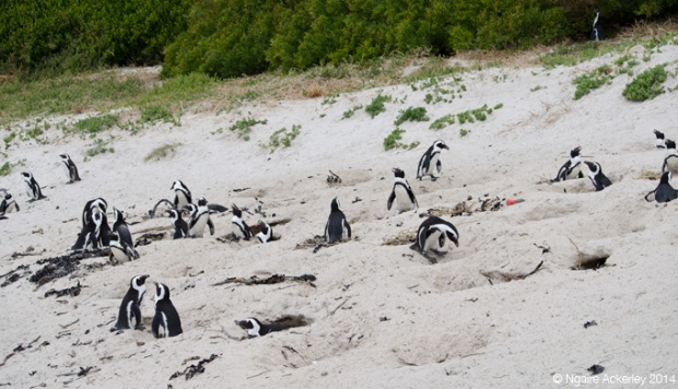 Nesting Penguins