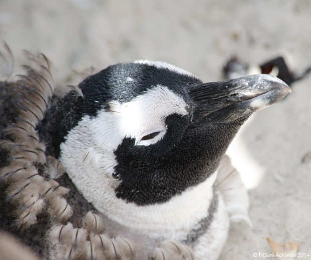 Penguin yet to loose its fluffy feathers