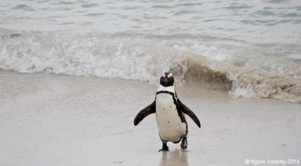 Penguin running out of the surf