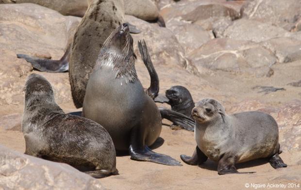 Cape Fur Seals at Cape Cross