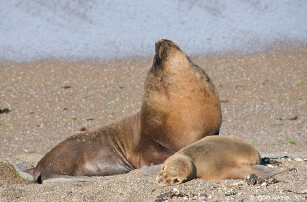 Seal and pup, Punta Norte