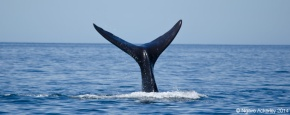 Southern Right Whale Tail, Puerto Piramides
