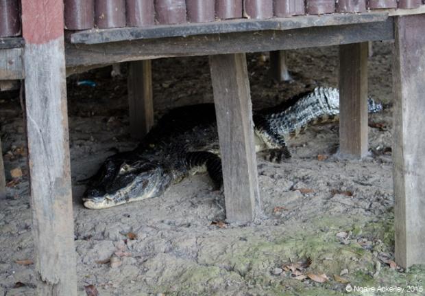Alligator under Ecolodge, Pampas, Bolivia