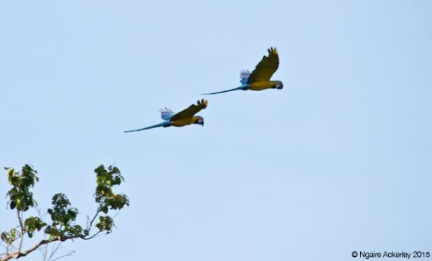 Macaws, Pampas, Bolivia