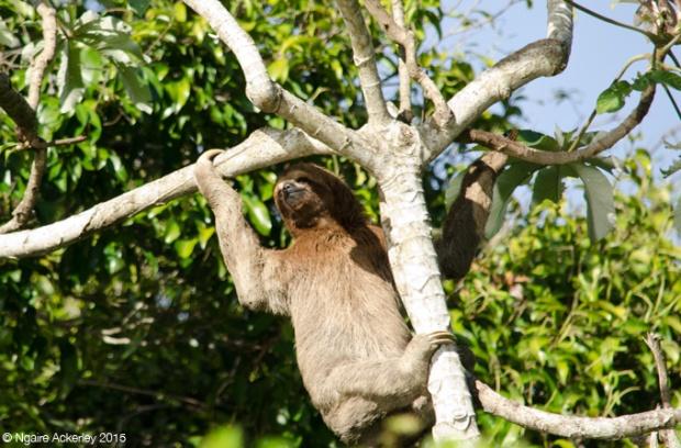 Sloth in tree (climbing down)