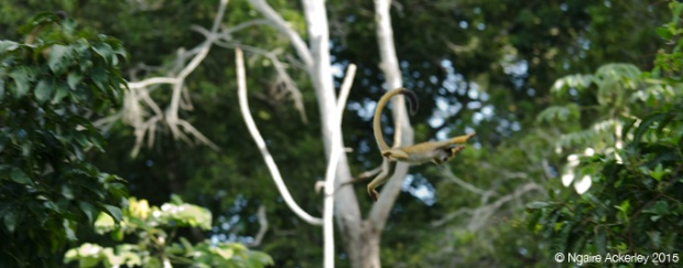 Squirrel monkey flying through the trees