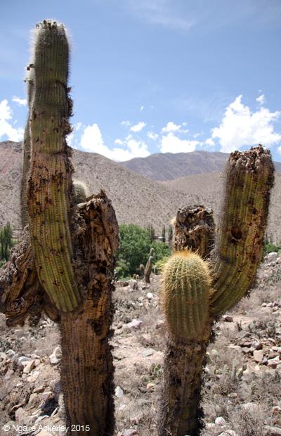Cactus at Pucara de Tilcara
