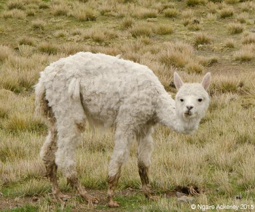Alpaca shorn
