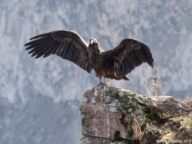 A condor in Colca Canyon