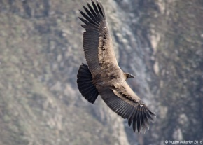 A condor flying in Colca Canyon