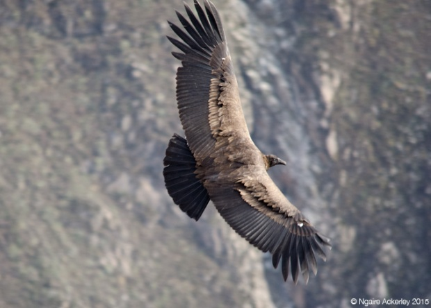 A condor flying in Colca Canyon