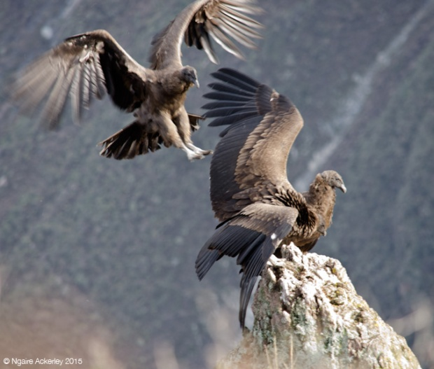 Condors competing for a perch