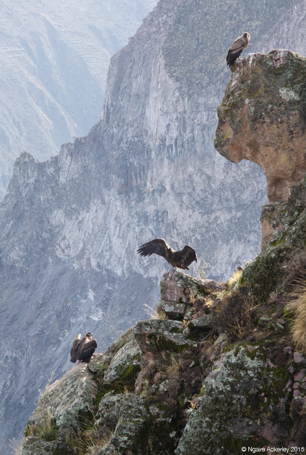 Three Condor in Colca Canyon
