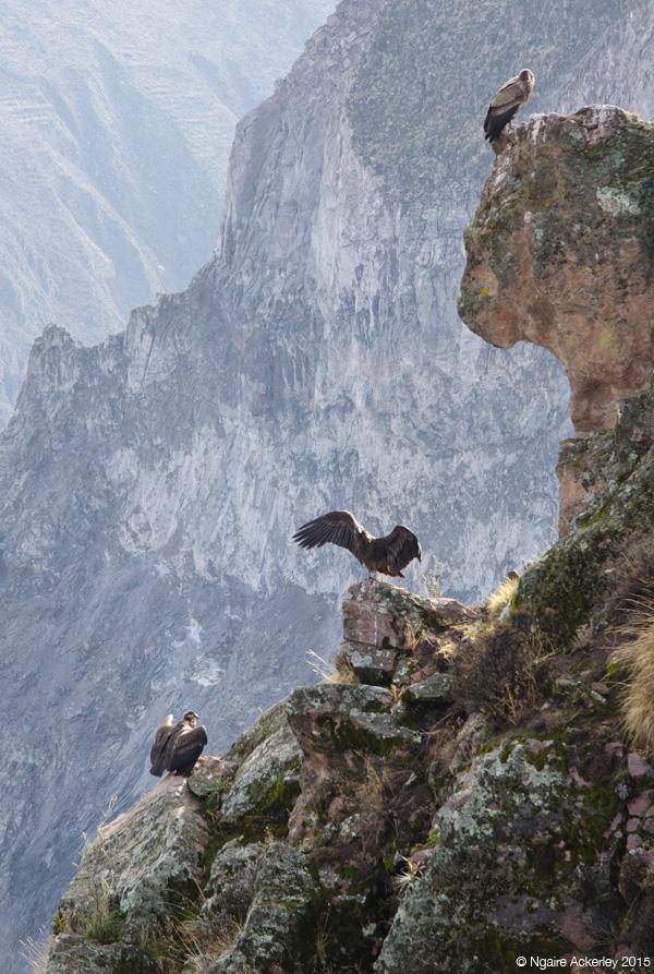 Three Condor in Colca Canyon