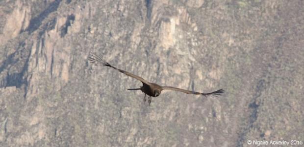 Condor flying in Colca Canyon